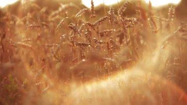 Wheat at Sunset HD — Stock Video
