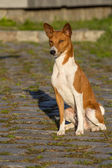 Small hunting dog breed Basenji — Stock Photo