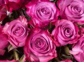 Pink roses close up — Stock Photo