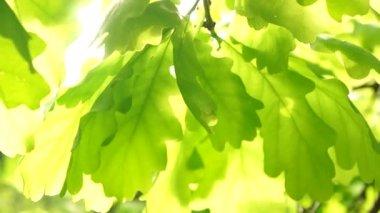 Sunshine through oak leaves — Stock Video