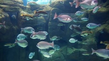 Tropical fish swimming on coral reef — Stock Video