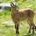 Capra caucasica, Caucasian National Park — Stock Photo #53034391