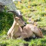 Capra caucasica, Caucasian National Park — Stock Photo #53034403