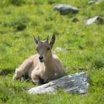 Capra caucasica, Caucasian National Park — Stock Photo #53034411