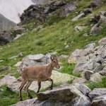 Capra caucasica, Caucasian National Park — Stock Photo #53034447