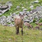 Capra caucasica, Caucasian National Park — Stock Photo #53034451