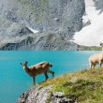 Capra caucasica, Caucasian National Park — Stock Photo #53034483