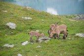 Capra caucasica, Caucasian National Park — Stock Photo