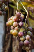 Grape — Foto de Stock