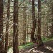 Old forest in the mountains — Stock Photo #55190597