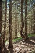 Antiga floresta nas montanhas — Foto Stock