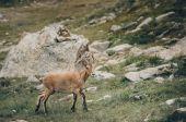 The West Caucasian goat — Stock Photo