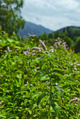 Flowers of mentha piperita — Stock Photo