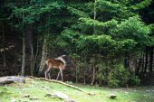 A female deer grazes in woodland — Stock Photo