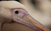 Eye of a pelican — Stock Photo