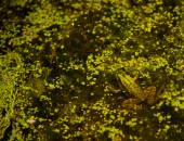 Frog on the bog — Stock Photo