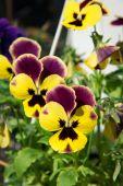 Viola tricolor flowers — Stock Photo
