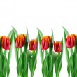 Tulips — Stock Photo #57250597