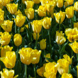 Tulips yellow — Stock Photo #57945605