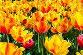 Tulips in flower garden Kukenhof park — Stock Photo