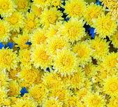 Fond fleur jaune — Photo