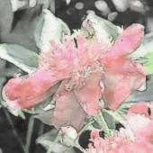 Art floral vintage sepia watercolor background with light pink p — Stock Photo