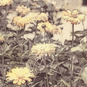 Art floral vintage sepia watercolor background with light yellow asters — Stock Photo
