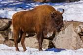 Aurochs in park — Stock Photo
