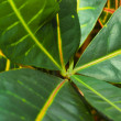 Leaves of croton tree Codiaeum — Stock Photo #53083977