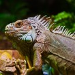 Big iguana lizard in terrarium — Stock Photo #54017395