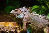 Big iguana lizard in terrarium — Stock Photo