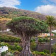 Famous Millennial Dragon Tree in Tenerife - Canary — Stock Photo #56877663