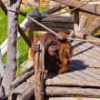 Monkey in park at Tenerife Canary — Foto de Stock   #69016365