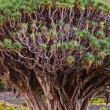 Famous Millennial Dragon Tree in Tenerife - Canary — Stock Photo #69016379