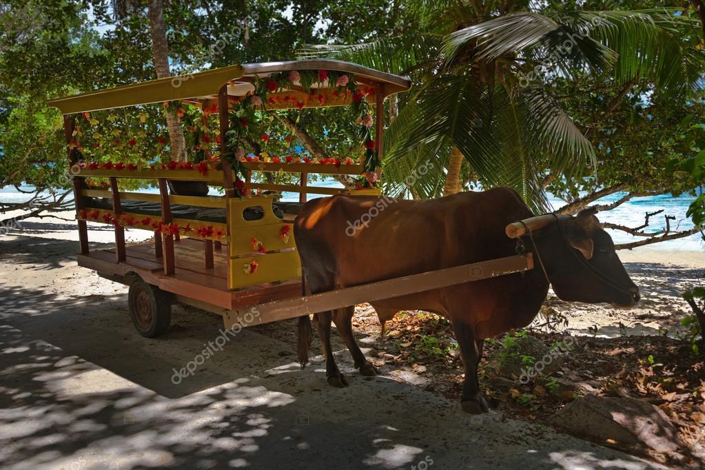 chariot de buffalo pour crmonie de mariage seychelles image - Photographe Mariage Seychelles