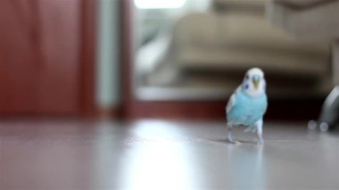 Budgie — Stock Video
