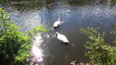 Cygnes blancs — Vidéo