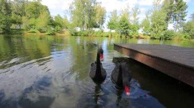 Cygnes noirs — Vidéo