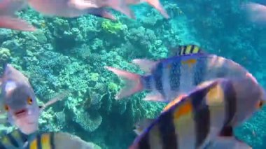 Sergeant major fish — Stock Video