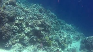 Napoleon fish — Stock Video