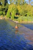 Ruddy duck — Stock Photo