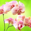 Pink romantic orchid flowers — Stock Photo #69453387
