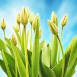 Fresh tulips flowers — Stock Photo #71244203