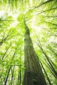 Alberi nella foresta verde — Foto Stock