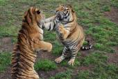 Two tigers playing with each other — Stock Photo