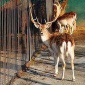 Deer in the zoo — Stock Photo
