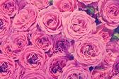 粉色玫瑰背景 — 图库照片
