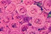 Roze rozen achtergrond — Stockfoto