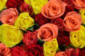Colorful roses background, shallow depth of field — Stockfoto