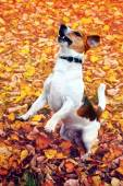 Cute jack russell terrier, dog on a background of autumn leaves — Zdjęcie stockowe